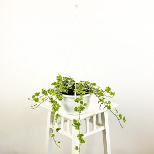 Fidan Burada - Hedera Helix White Wonder Askılı Saksıda - Orman Sarmaşığı
