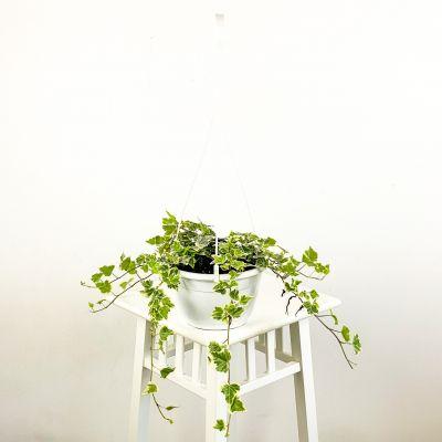 Hedera Helix White Wonder Askılı Saksıda - Orman Sarmaşığı