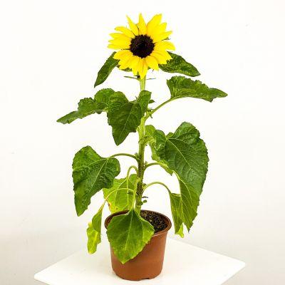 Helianthus Annuus - Bodur Ayçiçeği Günebakan 40-50cm