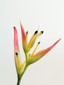 Heliconia Psittacorum HAWAİİ- İthal - Thumbnail