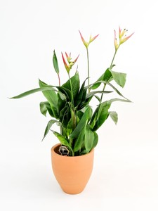 Fidan Burada - Heliconia Psittacorum HAWAİİ- İthal
