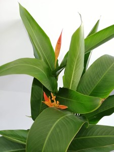 Heliconia Psittacorum CURACAO-İthal - Thumbnail