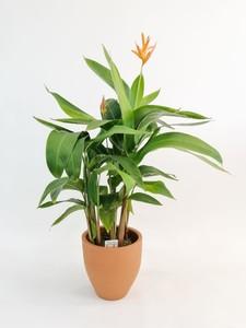 Fidan Burada - Heliconia Psittacorum CURACAO-İthal