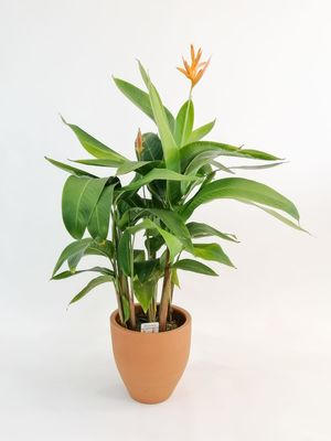 Heliconia Psittacorum CURACAO-İthal