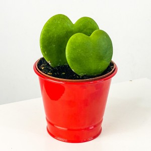 Fidan Burada - Hoya Kerrii (Kalp Sukulent) İkili - Kırmızı Saksılı