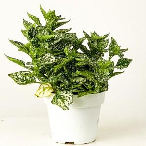 Fidan Burada - Hypoestes phyllostachya - Beyaz Saksılı Hostes Çiçeği - Büyük Boy