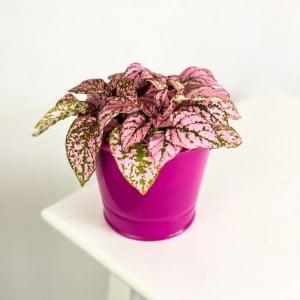 Fidan Burada - Hypoestes phyllostachya - Pembe Saksılı Hostes Çiçeği 15cm