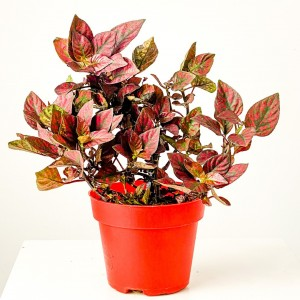 Fidan Burada - Hypoestes phyllostachya -Kırmızı Saksılı Hostes Çiçeği - Büyük Boy
