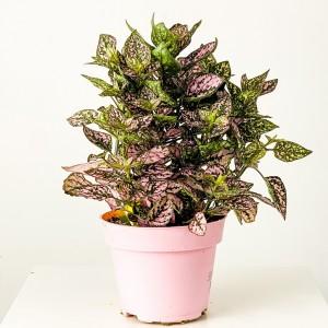 Fidan Burada - Hypoestes phyllostachya -Pembe Saksılı Hostes Çiçeği - Büyük Boy
