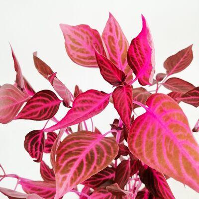 Iresine herbstii – Çingene Şalvarı 50-70 cm