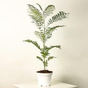 Fidan Burada - Jakaranda Ağacı Fidanı 60cm