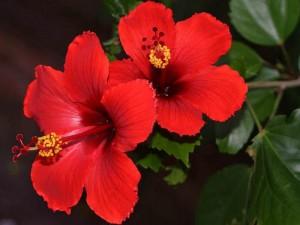 Ücretsiz Kargo - Japon Gülü Fidanı - Hibiscus Rosa