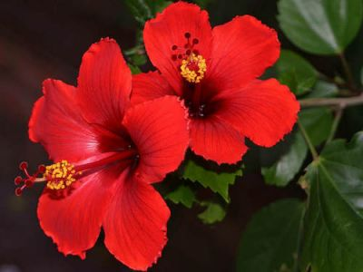 Japon Gülü Fidanı - Hibiscus Rosa