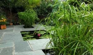 Fidan Burada - Japon Şemsiyesi Bitkisi - Cyperus Alternifolius