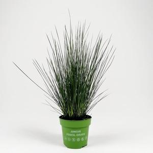 Fidan Burada - Juncus effusus Pencil Grass- Kalem Çim-İthal