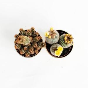 Kaktüs Seti XL Gold Edition 3 - Thumbnail