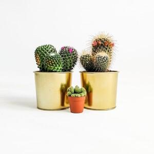Kaktüs Seti XL Gold Edition 4 - Thumbnail
