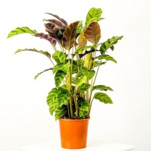 Fidan Burada - Kalatya-Calathea Greenstar - İthal 60-80cm