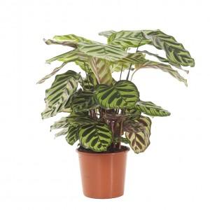 Fidan Burada - Kalatya-Calathea Makoyana-İthal 40-60 cm