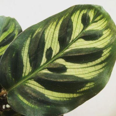 Kalatya-Calathea Makoyana-İthal 40-60 cm