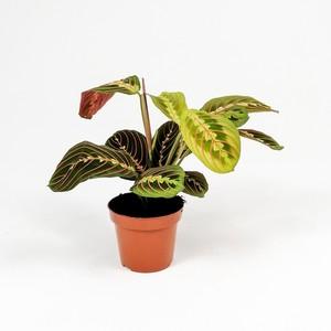 Ücretsiz Kargo - Maranta Fascinator-Dua Çiçeği-İthal 30 Cm