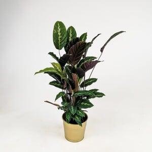 Ücretsiz Kargo - Kalatya-Calathea Maui Queen-İthal 60-80 cm