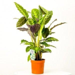 Fidan Burada - Kalatya-Calathea Misto-İthal 60-80cm