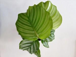 Kalatya-Calathea Orbifolia-İthal 20-25 Cm - Thumbnail