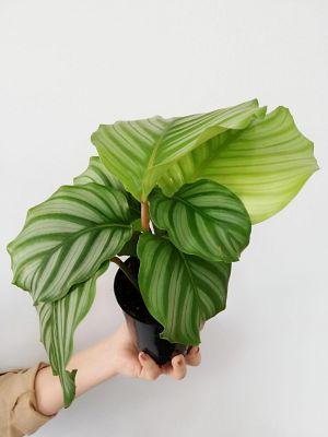 Kalatya-Calathea Orbifolia-İthal 20-25 Cm