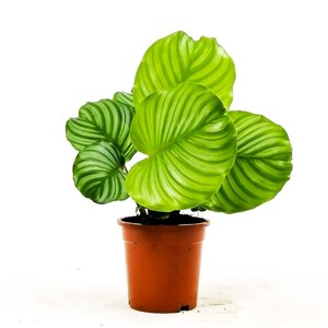 Kalatya-Calathea Orbifolia-İthal - Thumbnail
