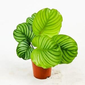 Ücretsiz Kargo - Kalatya-Calathea Orbifolia-İthal