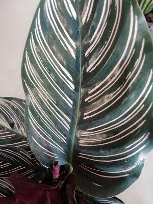 Kalatya-Calathea Ornata-İthal 30Cm