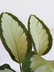 Kalatya-Calathea Picturata-İthal 30-40Cm - Thumbnail