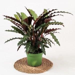 Kalatya-Calathea Rufibarba Wavestar-İthal 50-60cm - Thumbnail
