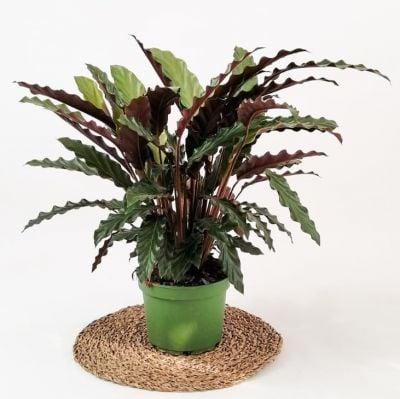 Kalatya-Calathea Rufibarba Wavestar-İthal 50-60cm