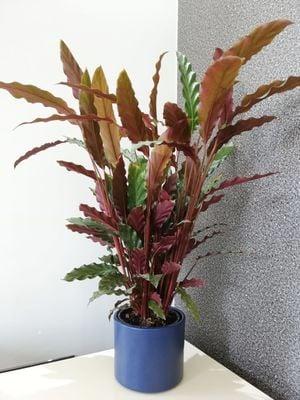 Kalatya-Calathea Rufibarba Wavestar-İthal-Seramik Saksılı 60 Cm
