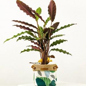 Fidan Burada - Kalatya Plant Basket (Medium) Calathea Rufibarba Wavestar-İthal 30-40 Cm