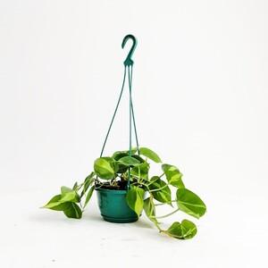 Ücretsiz Kargo - Kalp Yapraklı Salon Sarmaşığı Alacalı-Philodendron Scandens Brasil-Askılı Saksıda