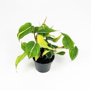 Kalp Yapraklı Salon Sarmaşığı Alacalı-Philodendron Scandens Brasil - Thumbnail
