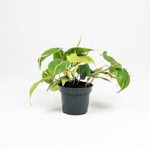 Ücretsiz Kargo - Kalp Yapraklı Salon Sarmaşığı Alacalı-Philodendron Scandens Brasil