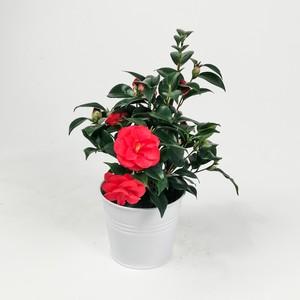 Fidan Burada - Kamelya Çiçeği - Camelia Japonica - Kırmızı - İthal