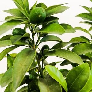 KAMKAT - KUMKUAT- Meyveli (Citrus Fortunella Margarita) 50 Cm - Thumbnail