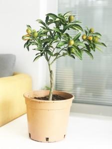 Fidan Burada - KAMKAT - KUMKUAT (Citrus fortunella) Meyveli 25-30 Cm Saksılı