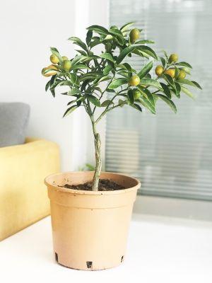 KAMKAT - KUMKUAT (Citrus fortunella) Meyveli 25-30 Cm Saksılı