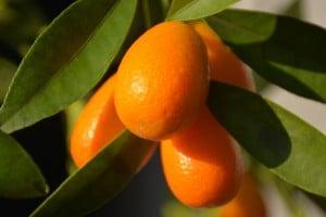 Fidan Burada - KAMKAT - KUMKUAT (Citrus fortunella) 3-4 Yaş Üzeri Meyveli