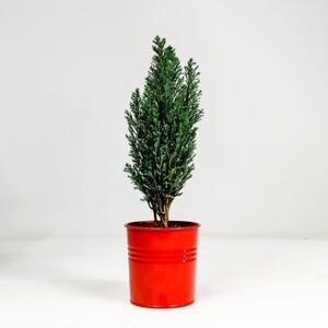 Fidan Burada - Ellwoodii Çamı - Kırmızı Saksılı 30-40cm - Chamaecyparis Lawsoniana Ellwoodii