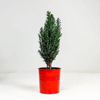 Ellwoodii Çamı - Kırmızı Saksılı 30-40cm - Chamaecyparis Lawsoniana Ellwoodii