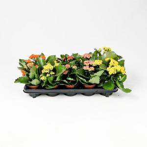 Ücretsiz Kargo - Karışık Renkli Kalanşo Çiçeği-5 Adet-Kalanchoe