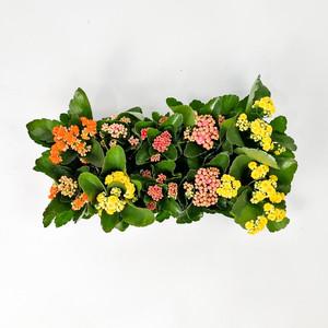 Fidan Burada - Karışık Renkli Kalanşo Çiçeği-10 Adet-Kalanchoe