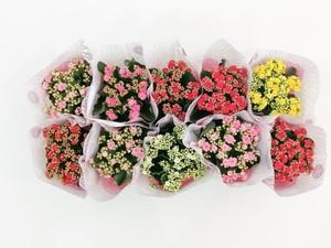 Fidan Burada - Karışık Renkli Kalanşo Çiçeği-10 Adet-Orta Boy-Kalanchoe